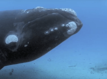 Brian Skerry and Right Whale
