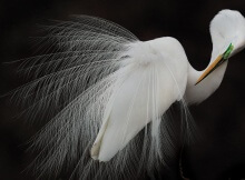Audubon Photography Awards 2015 Melissa Groo, Great Egret