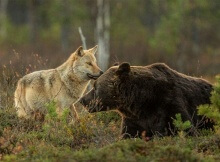 Gray wolf and brown bear friendship photo by Lassi Rautiainen