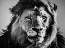 Laurent-Baheux-Lion-portrait-Kenya-2006