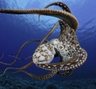 underwater photographer David Fleetham octopus