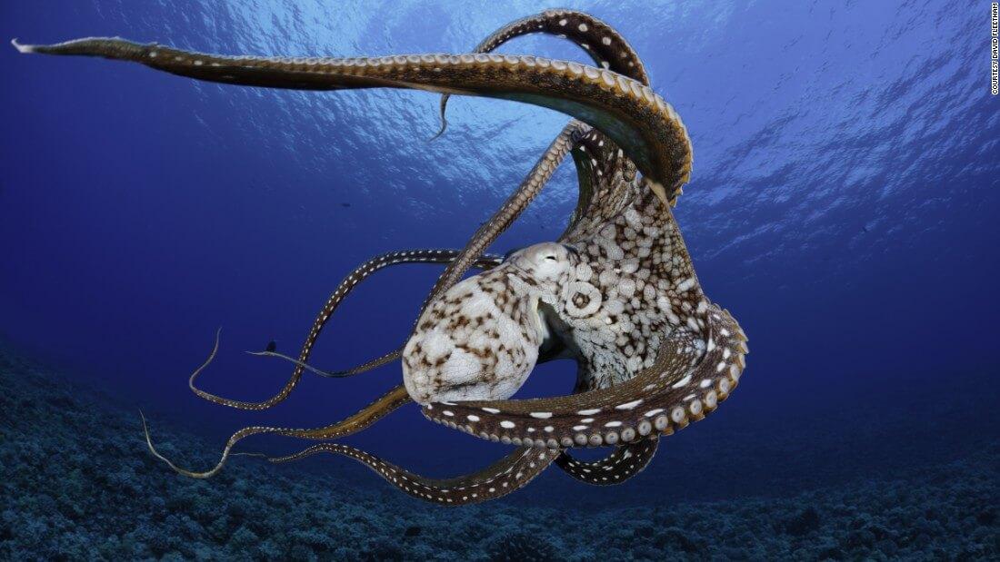 underwater photographer David Fleetham octopus