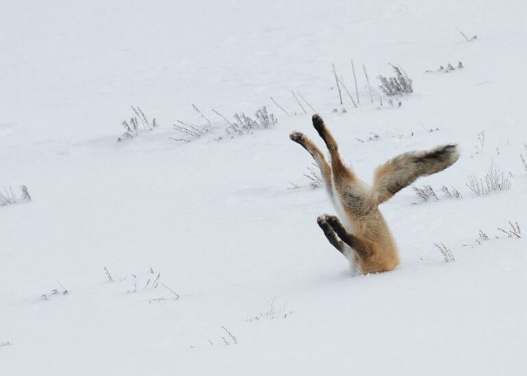 2016 Comedy Wildlife Photo Awards winner fox head in snowbank A Tough Day at the Office by Angela Bohlke