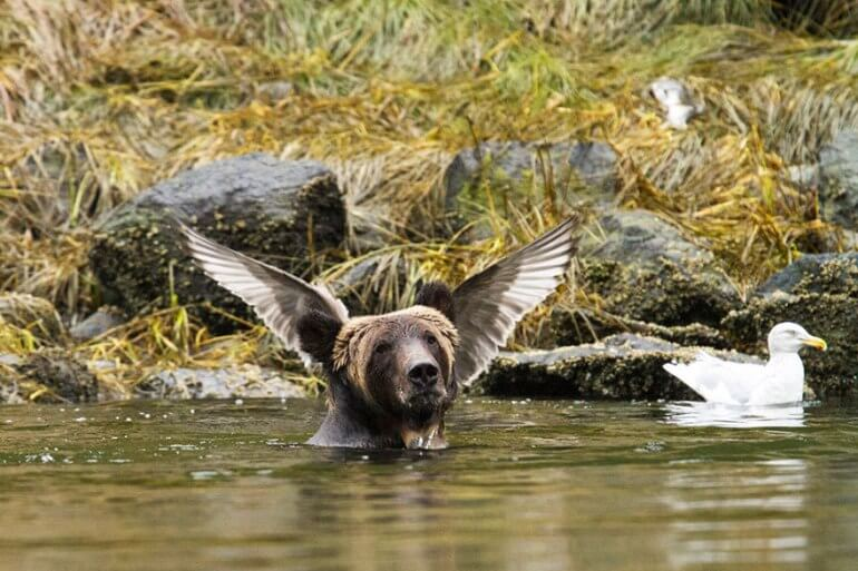 Highly Commended 'Angel Bear' Adam Parsons 2016 Comedy Wildlife Photo Awards bear with bird wings behind head