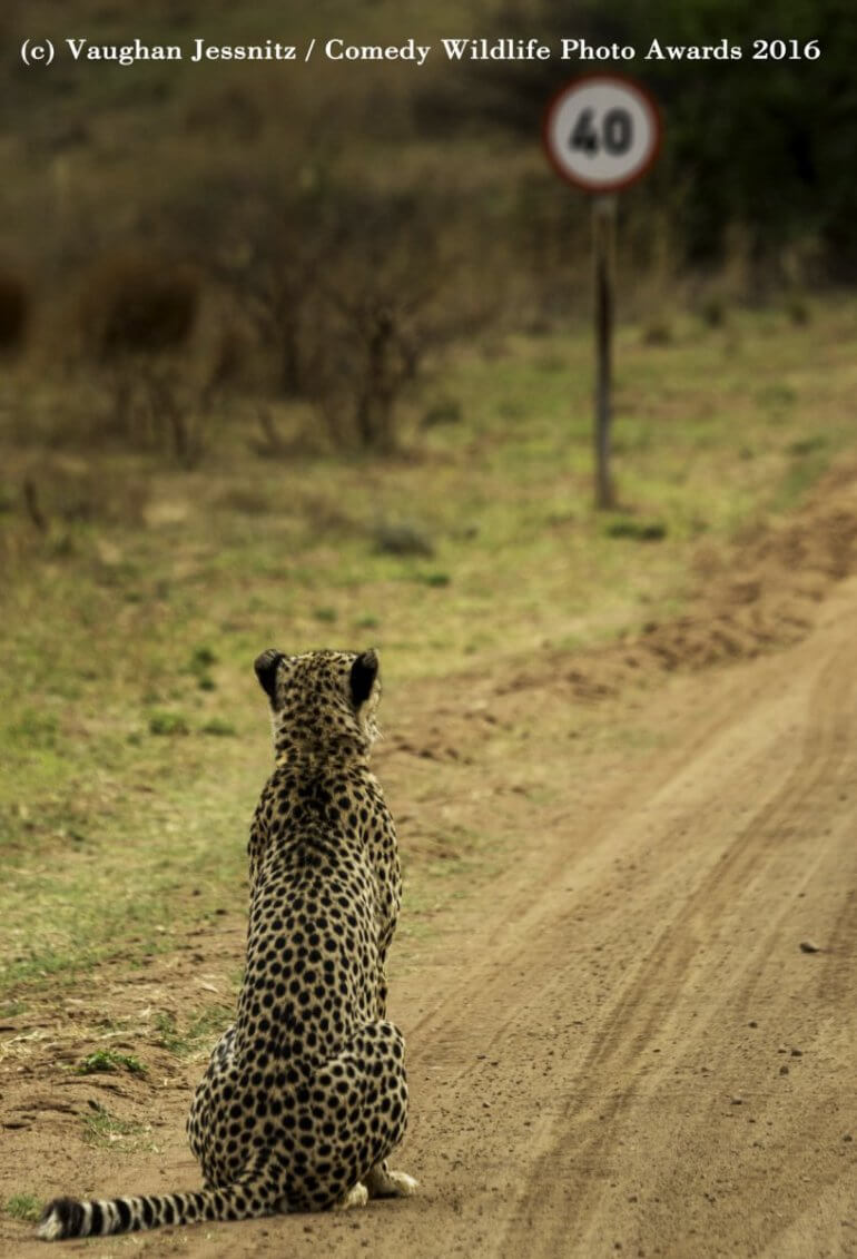 "2016 Comedy Wildlife Photo Awards Highly Commended 'Cheetah Pondering the Speed Limit...""Well this sucks!"" by Vaughan Jessnitz"