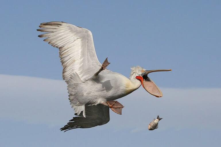 2016 Comedy Wildlife Photo Awards Winner Creatures in the Air category' pelican drops fish Damn!' Nicolas de Vaulx