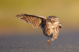 2016 Comedy Wildlife Photo Awards Highly Commended owl pointing with wing 'He Went That Way...'Austin Thomas