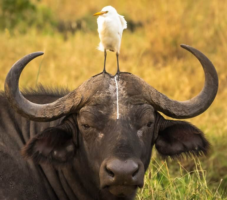 2016 Comedy Wildlife Photo Awards Highly Commended bird pooping on head water buffalo 'Head Shot' Tom Stables