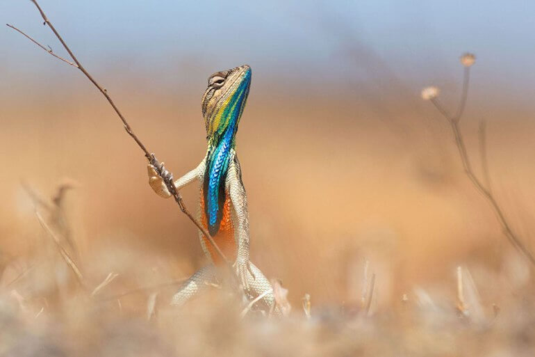 Highly Commended 2016 Comedy Wildlife Photo Awards colorful lizard Warrior of the Grassland by Anup Deodhar